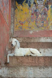 Goat on the steps of the Varanasi ghats, India Stock Image