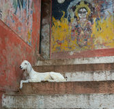 Goat on the steps of the Varanasi ghats, India Royalty Free Stock Photos