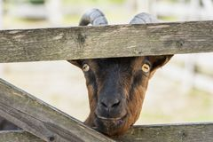 Goat stick nose through the fence royalty free stock photos