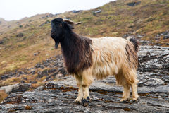 Goat on a stone Royalty Free Stock Images