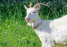 Goat on a summer day Stock Photography
