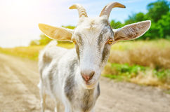 Goat in summer outdoors in nature Stock Photo