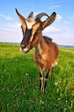 Goat on a summer pasture Stock Photo