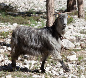 Goat at sun day Royalty Free Stock Photography