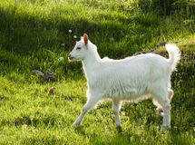 Goat in sunshine. A goat in nature while the sun was setting down Stock Images