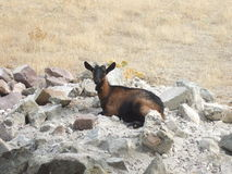 Goat. In the surroundings in Greece royalty free stock images