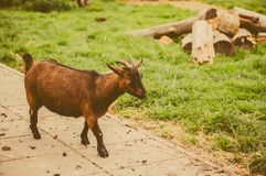 Goat - symbol of year 2015 Stock Photography