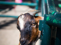 Goat Takes a Head off The Steel Grille. The Goat Takes a Head off The Steel Grille Stock Photos