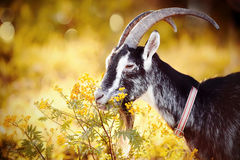 Goat and tansy. Royalty Free Stock Photo
