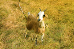 A goat tethered in a tropical meadow Stock Photo