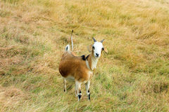 A goat tethered in a tropical meadow Stock Images