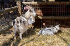 Goat with their babies, breast with their children. Goat caring for their babies on the farm, farm animal that suckles their babies, farm animals, three goats stock photo