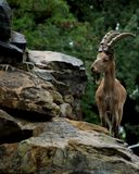 Goat thinks to jump or not. Thoughtful goat standing next to the cliff. Located in Berlin Zoo royalty free stock image