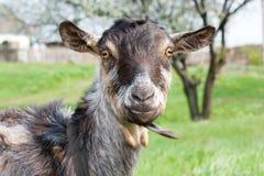 Goat Royalty Free Stock Photos