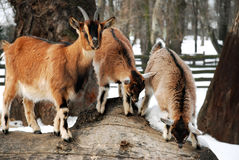 Goat. Three goats standing on a wooden log, winter Royalty Free Stock Image