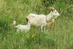 Goat with three kids royalty free stock photography