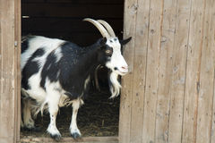 Goat is on the threshold of the house Royalty Free Stock Photography