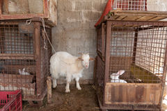 Goat tied ang rabbit in cage Stock Image