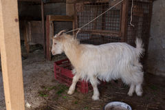 Goat tied Stock Photography