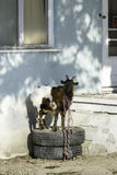Goat on tires in front of abandoned blue house Royalty Free Stock Photography