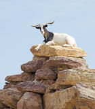 Goat on top of Rocks Stock Photography