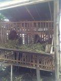 Goat. Traditional farm goat Stock Photos