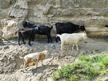 Goat trail. The photograph was taken when traveling in the Republic of Altai Stock Images