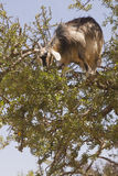 Goat in a Tree Royalty Free Stock Photos