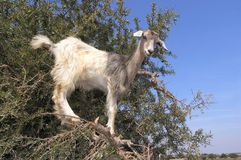 Goat on tree Royalty Free Stock Image
