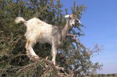 Goat on tree. Near Essaouira Morocco Royalty Free Stock Image