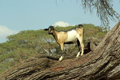 African goat. Goat on a tree in Ethiopia Stock Images