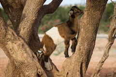 Goat on the tree Royalty Free Stock Photos