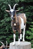 Goat on tree stump Stock Photography