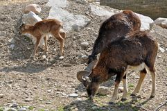 Goat trio Royalty Free Stock Photography