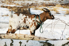 Goat on the trunks. White and brown pet goat on the cut trunks of trees Stock Image