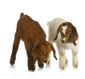 Goat twins. Two south african boer  on white background Royalty Free Stock Images