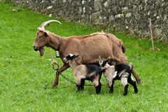 Goat with two babies Stock Photo