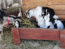 Goat with two cubs. Eating hay stock footage