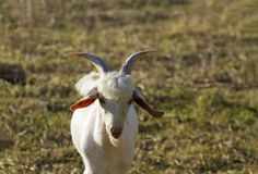A goat with two horns. stock photos