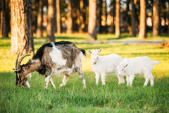 Goat And Two Kid Goat Grazing On Green Summer Grass On A Sunny Day Stock Images