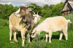 Goat and two kid on the green grass Stock Image