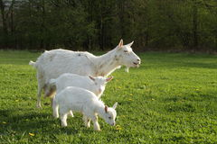 Goat and two kids Royalty Free Stock Photos