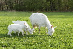 A goat and two kids Stock Image