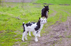 Goat with two kids. Domestic goat with two kids on the meadow Royalty Free Stock Images