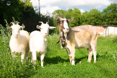 Goat and two kids  on the green grass Stock Photo