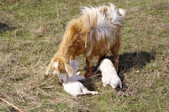 Goat with two newborn kids on meadow Royalty Free Stock Images