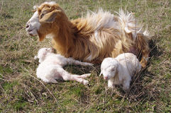 Goat with two newborn kids on meadow Stock Images