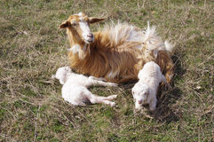 Goat with two newborn kids on meadow Stock Image