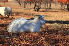 A goat under the maple Royalty Free Stock Photo