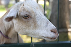 Goat up close. Royalty Free Stock Image